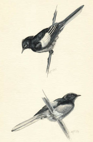 Paruline à ailes blanches