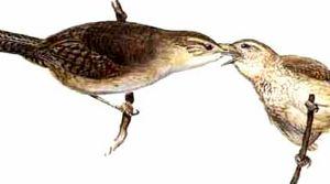 Troglodyte austral