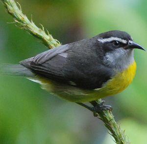 Sucrier ventre jaune coereba flaveola for Oiseau ventre jaune