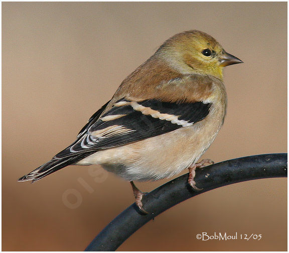 American Goldfinch male adult post breeding