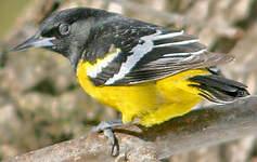Oriole jaune-verdâtre