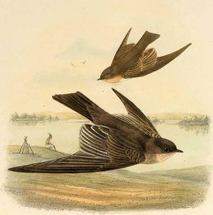 Hirondelle à ailes hérissées