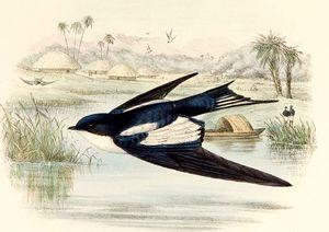 Hirondelle à ailes tachetées