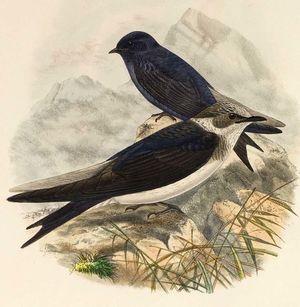 Hirondelle noire