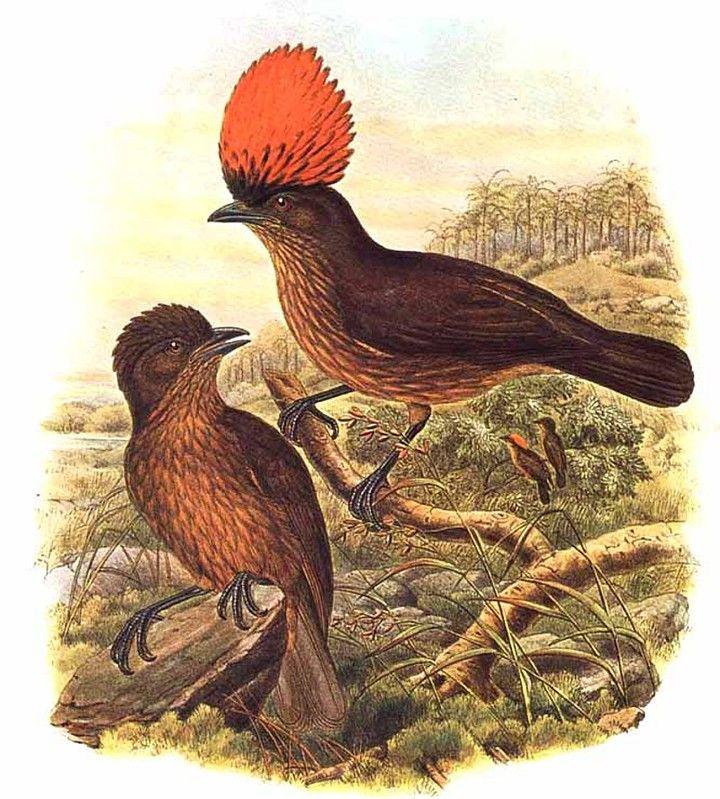 Jardinier huppe orange ref rbsh15486 for L oiseau jardinier
