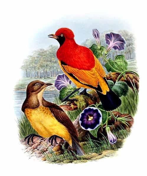 Jardinier du prince d 39 orange par bowdler sharpe rbsh15667 for L oiseau jardinier