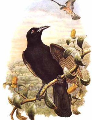 Paradisier corvin