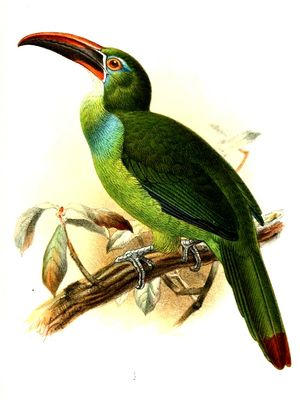 Toucanet de Whitely