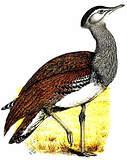 Otidiformes