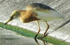 Crabier malais