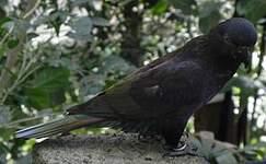 Lori noir