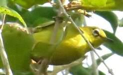 Zostérops à ventre citron