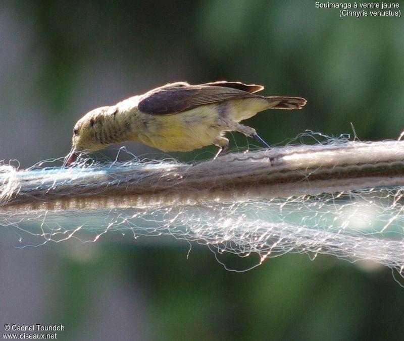 Souimanga ventre jaune femelle adulte nuptial ref for Oiseau ventre jaune
