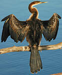 Anhinga d'Afrique