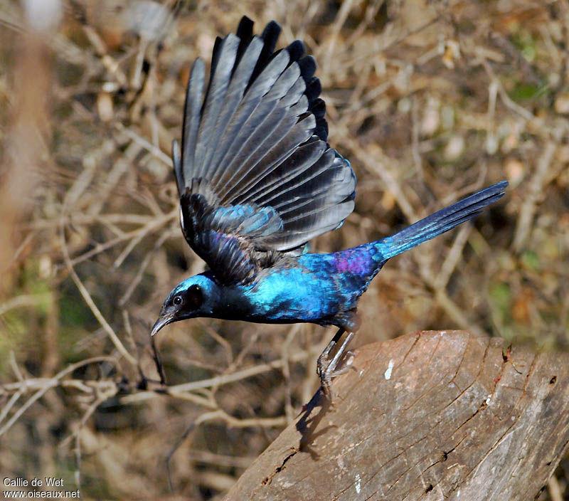Choucador de Burchell - Lamprotornis australis