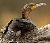 Cormoran à poitrine blanche