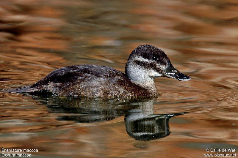 6.. 开放分类: 鸟类鸟纲雁形目鸭科动物界自然动物