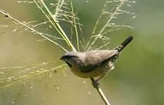 Capucin de Madagascar