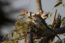 Calao de Tanzanie