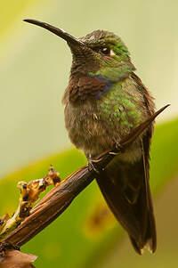 Colibri à poitrine violette