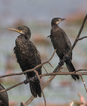 Cormoran à cou brun