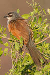 Coucal à sourcils blancs