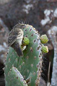 Géospize des cactus