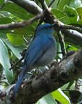 Gobemouche bleuâtre