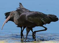 Ibis de Ridgway