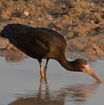 Ibis à face nue