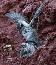 Moqueur des Galapagos