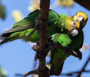 Perroquet à face jaune