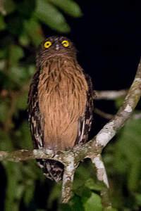 Kétoupa malais