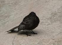 Moucherolle noir