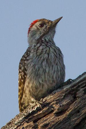 Pic cardinal