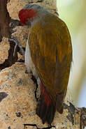 Pic spodocéphale