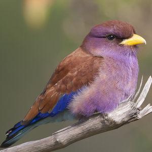 Rolle violet