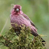 Roselin à dos rouge