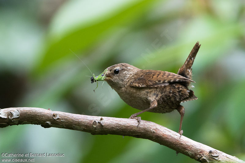 Troglodyte mignon troglodytes troglodytes for Oiseau marron