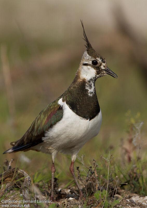 Vanneau hupp vanellus vanellus for Petit oiseau avec houpette