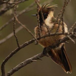 Colibri casqué