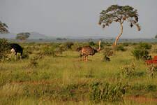Autruche d'Afrique