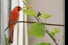 Cardinal rouge