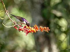 Souimanga violet