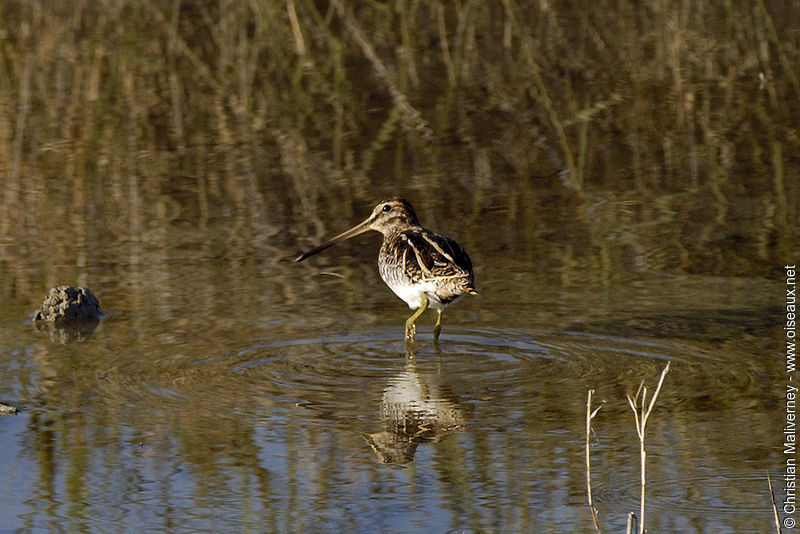 Common Snipe adult