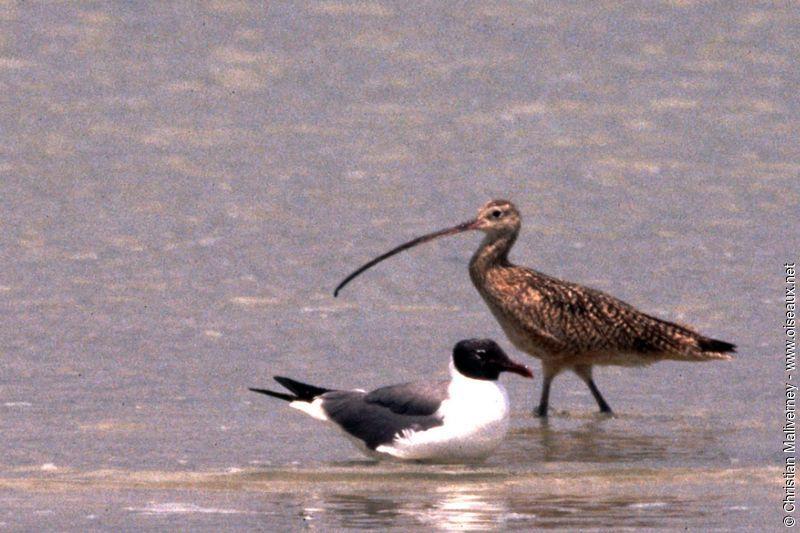 Courlis long bec adulte ref chma13317 for Oiseau a long bec