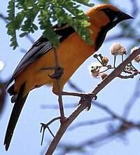 Oriole orange