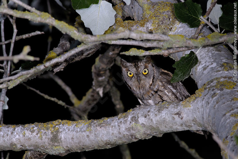 Petit-duc scops adulte, identification