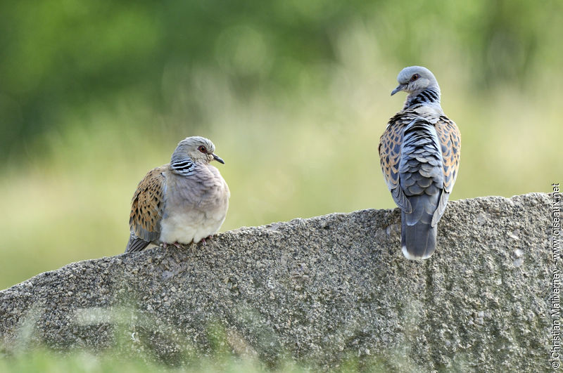 European Turtle Dove  Streptopelia turtur adult  ref