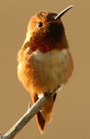 Colibri d'Allen